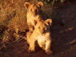 lion cubs Serengeti