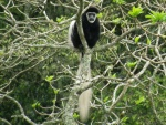 black & white colobus / colobe guereza, Arusha NP
