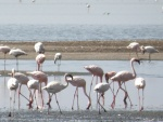 lesser flamingoes / flamants nains, Lake Natron