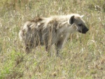 young hyena, Serengeti