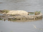 crocodile in Mara river