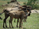 wildebeests / gnous, Lobo