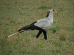 secretary bird / messager sagittaire, Lobo