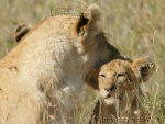 Lion and cubs in Serengeti National Park