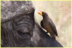 red-billled oxpecker / pique boeuf, Ndutu