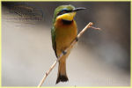 little bee eater / guépier