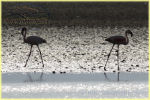 flamingoes , Lake Natron