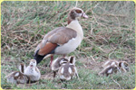 Egyptian Goose Serengeti